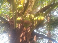 ASV-067-Coconut-Tree
